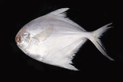 Sea fish Royalty Free Stock Photography