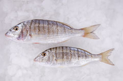 Sea Fish. Fresh fish placed on ice Royalty Free Stock Photo