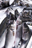 Sea Fish Stock Image