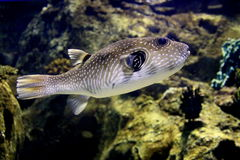 Sea Fish. An sea fish in a natural aquarium model stock images