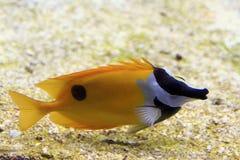 Sea Fish. An sea fish in a natural aquarium model royalty free stock image