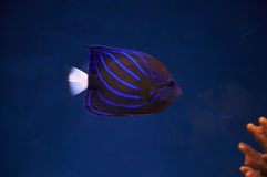 Sea fish. royalty free stock photography