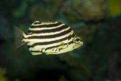 Sea fish Royalty Free Stock Photos