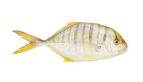 Sea fish with back stripes Royalty Free Stock Photography