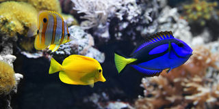 Sea fish, Blue tang Paracanthurus hepatus, Copperband Butterflyfish Chelmon rostratus and Yellow tang Zebrasoma flavescens. Stock Images