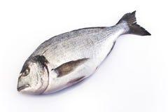 Sea fish dorade on white.  stock photography