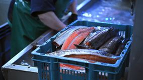 Sea fish factory. Cut fillet red worker stock footage