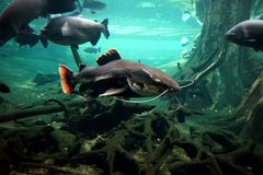 A large river catfish floating in a large aquarium behind the glass. stock images