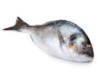 Sea fish. Fresh sea fish gilt-head bream isolated on white royalty free stock photos