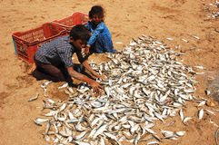 Sea Fish in Gujarat Royalty Free Stock Images