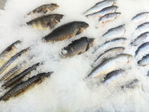 Sea fish gutted lies in ice Royalty Free Stock Photo