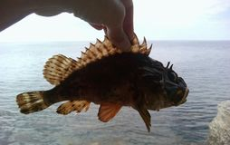 Sea fish in hand. Sea fish ruff in hand fishing Royalty Free Stock Photos