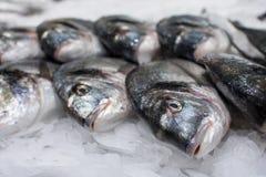 Sea fish on ice Royalty Free Stock Photos