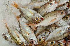 Sea fish on ice. Fish market, freshly caught sea fish on ice, ready for sale Royalty Free Stock Photo