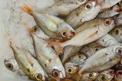 Sea fish on ice Royalty Free Stock Photo