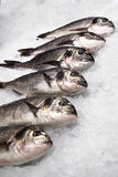 Sea fish lies in a row Stock Photos