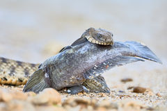 Water snake swallows fish. Sea fish in the mouth of a water snake Royalty Free Stock Image