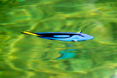 Sea fish. Fish sea ocean underwater aquarium reef  marine animal Royalty Free Stock Photography