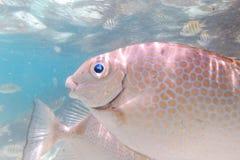 Sea Fish at Payar Island, Langkawi, Malaysia Royalty Free Stock Photo