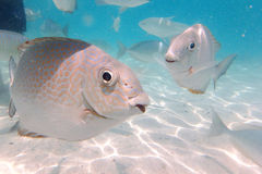 Sea Fish at Payar Island, Langkawi, Malaysia Stock Photo