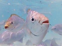 Sea Fish at Payar Island, Langkawi, Malaysia Stock Images