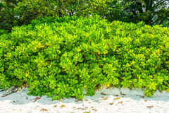 Sea fish poison tree on sand beach Royalty Free Stock Images