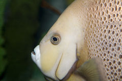 Sea fish's face Royalty Free Stock Images
