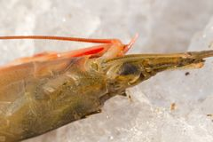 Shrimp on ice. Cooling with artificial ice. Sea fish. Seafood. Fishing life. Fresh seafood. The luck of the fisherman. Designer backgrounds. Backgrounds and stock photos