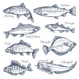 Sea fish sketch vector isolated icons. Fishes sketch vector isolated icons. Sea or ocean fish species of herring and pink salmon, navaga or carp and flounder Stock Photos