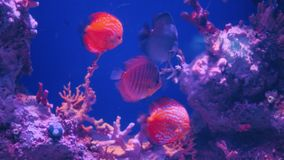 Sea fish swimming underwater in aquarium. Beautiful reef with fishes and corals stock footage
