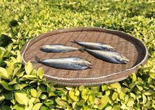 Sea fish on a wooden tray drying in the hot sun. Thailand, Phuket vector illustration