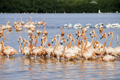 Sea Of Flamingoes Royalty Free Stock Images