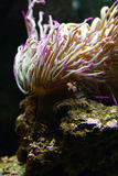 Sea flower. This is actualy an invertebrated animal. This photo was taken at Lisbon Oceanary stock photography