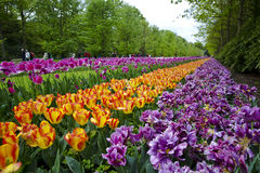 Sea of Flowerbeds in Keukenhof Gardens. The rivers and seas of flowerbeds is simply breathtaking and mesmerizing. Flower lovers will think they are in heaven stock photo
