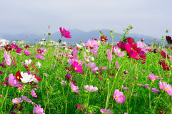 A sea of flowers Royalty Free Stock Photography