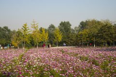 A sea of flowers, the cosmos Stock Photo