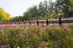 A sea of flowers, the cosmos. China Asia, Beijing, the Olympic Forest Park, the beautiful sunset, the ocean of flowers, intoxicated Stock Images