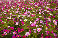 A sea of flowers, the cosmos. China Asia, Beijing, the Olympic Forest Park, the beautiful sunset, the ocean of flowers, intoxicated Royalty Free Stock Photos