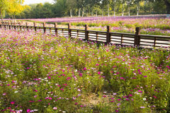 A sea of flowers, the cosmos. China Asia, Beijing, the Olympic Forest Park, the beautiful sunset, the ocean of flowers, intoxicated Stock Image