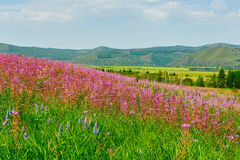 The sea of flowers in the meadows Stock Image