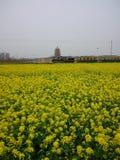 A sea of flowers. The flowers of Radix isatidis Stock Images