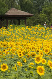 A sea of flowers, the sunflowers Royalty Free Stock Photos
