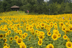 A sea of flowers, the sunflowers Stock Image