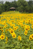 A sea of flowers, the sunflowers Royalty Free Stock Images