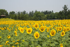 A sea of flowers, the sunflowers Stock Photo