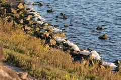Sea Foam on the rocks at Bolsa Chica Wetlands. In Huntington Beach California Stock Image