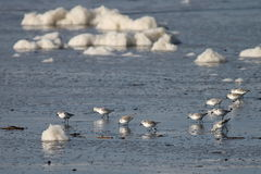 Sea Foam and Sanderlings Stock Photo