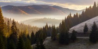 Sea of fog in forested valley. Gorgeous panoramic landscape in autumn mountains. spruce trees lit by rising sun stock images