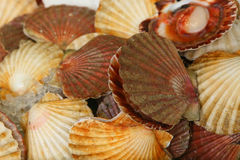 Sea food. A bunch with fresh oyster Royalty Free Stock Photography