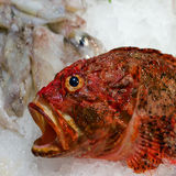 Sea food. Fish - sea food on ice background Royalty Free Stock Images